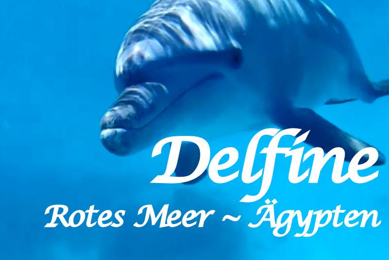 Schwimmen und Schnorcheln mit Delfinen im Jahr 2016 | Rotes Meer Ägypten Hurghada | Delfintour Ausflug mit Mohamed